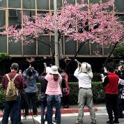 櫻花與衛生紙